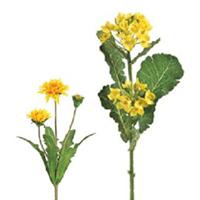 菜の花・タンポポ