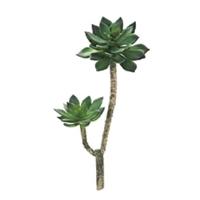 多肉植物(エケベリア)